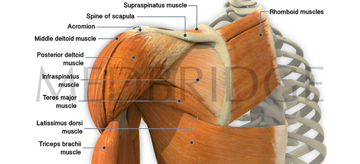 Best Exercises for Serratus Anterior, Levator Scapulae and Rhomboids