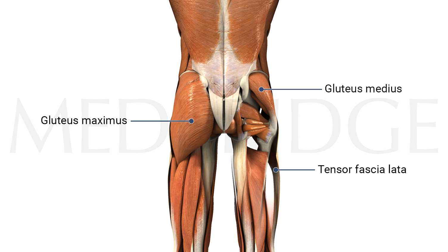 Best Exercises for the Gluteus Medius