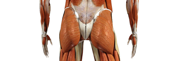 Best Exercises for the Gluteus Maximus